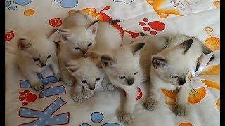 Прямая трансляция пользователя Тайские кошки - это чудо! Funny Cats thumbnail