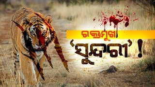 Tigress Sundari Allegedly Killed A Man In Satkosia Tiger Reserve In Anugul
