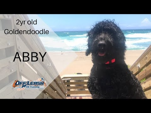 2YR OLD GOLDENDOODLE 'ABBY', 2 WEEK BOARD AND TRAIN PROGRAM