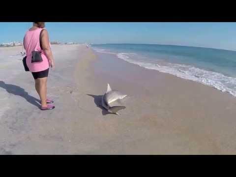 Vilano Beach Shark