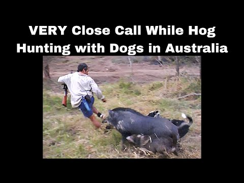 A VERY Close Call While Wild Boar Hunting With Dogs And A .3030 In Queensland Australia