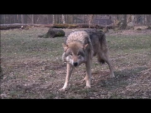 parc animalier de sainte croix dormir avec les loups 01 04 youtube. Black Bedroom Furniture Sets. Home Design Ideas
