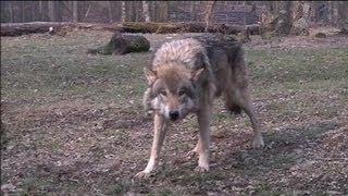Parc animalier de Sainte-Croix: dormir avec les loups - 01/04