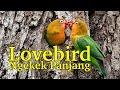 Suara Burung Lovebird Jantan Memanggil Betina Ngekek Panjang  Mp3 - Mp4 Download