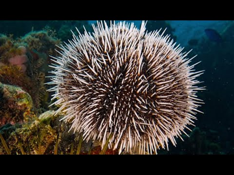 Facts: The Sea Urchin