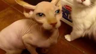 Sphynx cat meowing for food. Sfinks miauczy o jedzenie