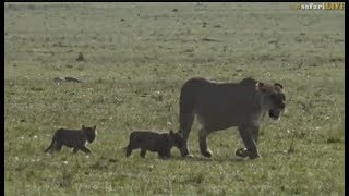 Pt 2  Safari Live's Sunrise Safari Drive at 7:30 AM on Sept 18, 2017 ( Lioness,cubs & Hosana ) thumbnail