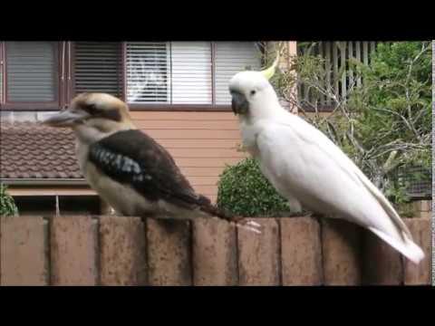 Cockatoo teasing Kookaburra