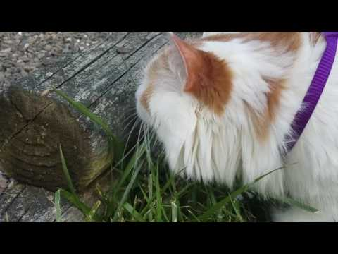 Walking a Turkish Van Cat on a Leash