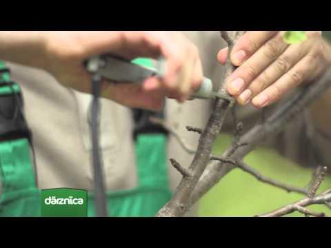 Septembra mēneša augs - ābele VIDEO