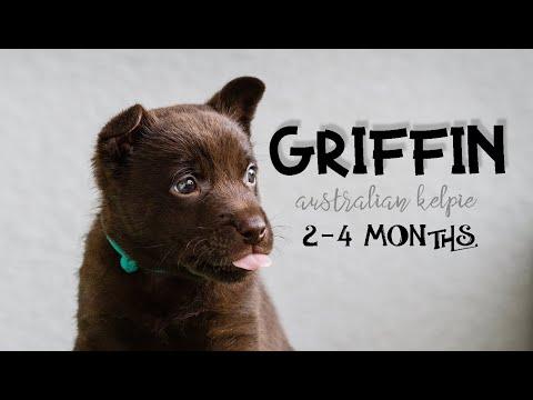 GRIFFIN - 2-4 MONTHS - AUSTRALIAN KELPIE PUPPY