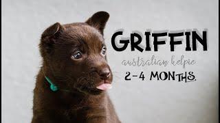 GRIFFIN  ~ AUSTRALIAN KELPIE ~ 24 months