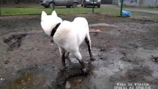 Собака гуляка в грязи