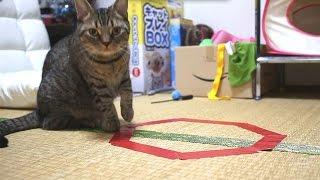 話題の猫ホイホイ、猫転送装置を試してみました~Munchkin tested CatCircles