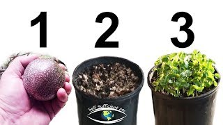 The Easiest Way to Grow Passionfruit Seedlings | How to Grow Passion Fruit Tips