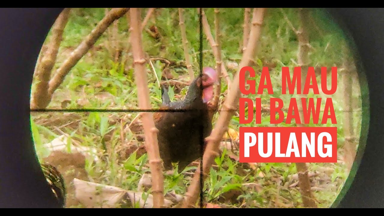 berburu  ayam hutan edisi NEW NORMAL