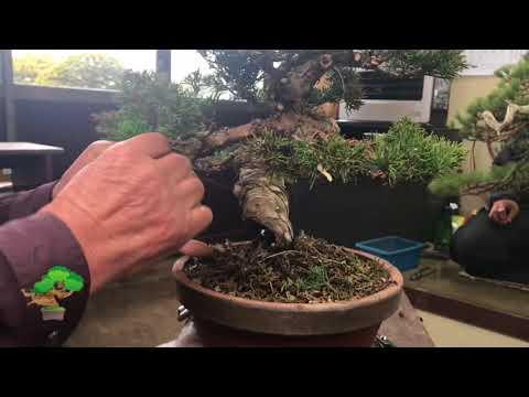 Pruning and wiring by Masahiko Kimura Part 3