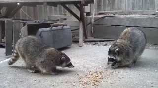 Growling Coons