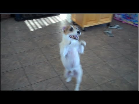 This Dog Can Dance! Jesse's Adorable Dog Trick