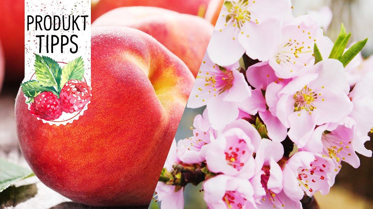 Fruit Me Obstbäume Pfirsichbaum Im Topf Pflanzen Und Pflegen