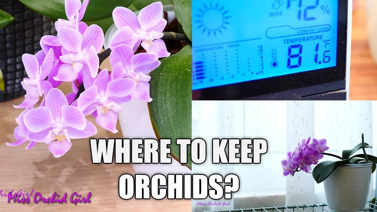 Orchid Care For Beginners Where Should I Put My Phalaenopsis