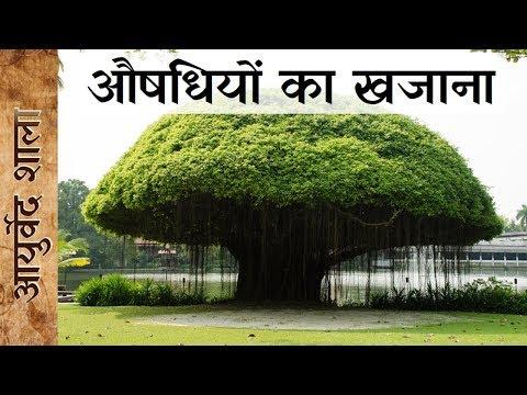 बढ़ का पेड़ औषधीय गुणों की सम्पूर्ण जानकारी | Banyan Tree| वट वृक्ष | Ayurved shala