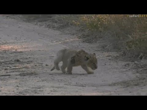 Pt 2  Safari Live\'s Sunrise Safari Drive at 8:00 AM on June 06, 2017 ( Brand new Nkuhuma Cub )