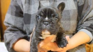 https://passerellewan.jp/puppies/?type=25.