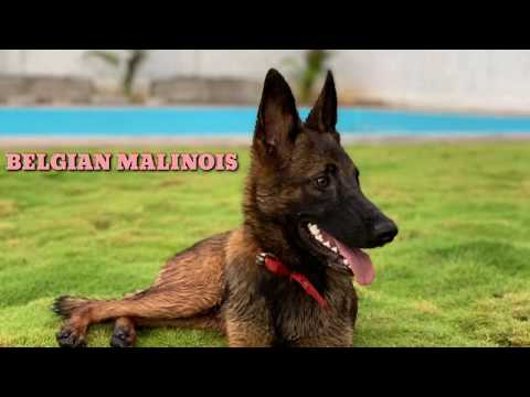 TOP Quality Belgian Malinois Semi Adult 6months for Sale Microchipped (KCI). Location Hyderabad