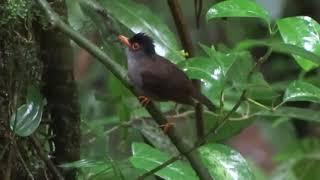 Gambar cover kicauan black nightingale