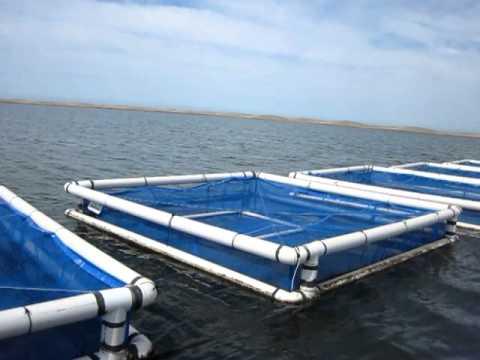 Cultivo de tilapia youtube for Jaulas para cria de peces