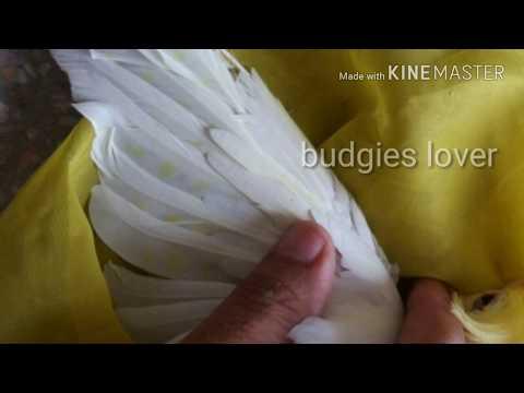 Eno cockatiels / difference between male or female in urdu hindi thumbnail