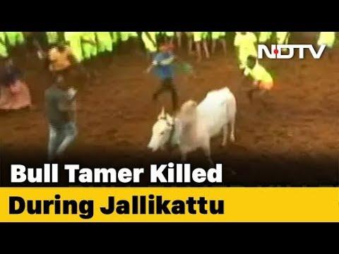Man Gored To Death At Bull-Taming Sport Jallikattu In Tamil Nadu