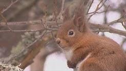 Graue Gefahr für die roten Eichhörnchen - science
