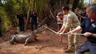 Australie: la police capture un crocodile mangeur de vaches