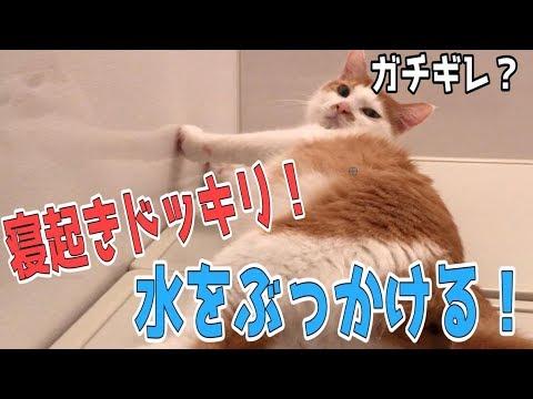 猫に寝起き水ぶっかけドッキリしたらめっちゃ文句言われたwwww