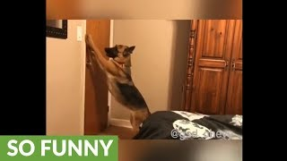 German Shepherd knows exactly what to do before bed