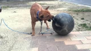 屋久島犬? うちの次男坊は超やんちゃ坊主で可愛い! このボール5キロ近...