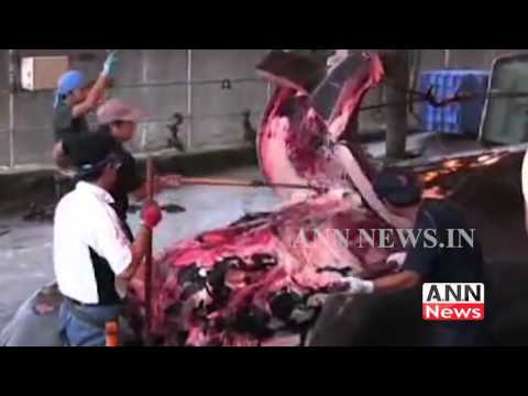 Japan kills pregnant whales as apart of whale hunt