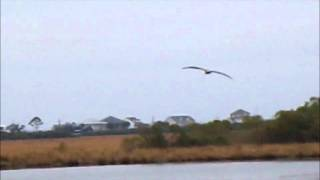 PELICANS: LOUISIANA