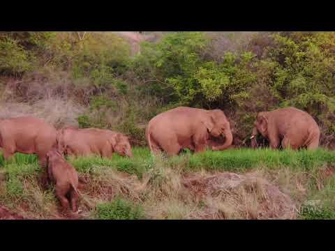 Wandering Asian elephants take break after 15-month journey