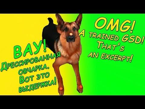 Дрессированная овчарка. Вот это выдержка! A trainedGerman shepherd dog  Here is an excerpt!