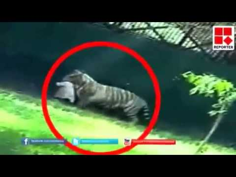 HD Footage White Tiger Killing A Student In Delhi Zoo. Really SAD Video.