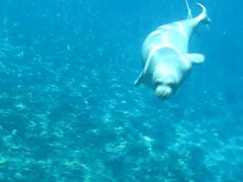 Monk Seal- Niihau Snorkel Trip