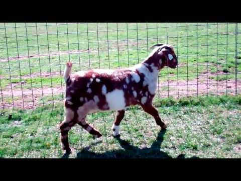 FOR SALE By PRIVATE TREATY ~ MAX Boer Goats POLAR VORTEX AURORA