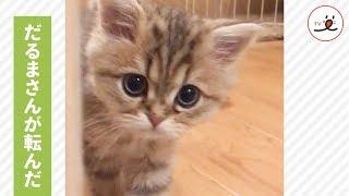 今日も一緒に遊んでね🐱 子猫ちゃんの可愛い遊び方…💕【PECO TV】 thumbnail