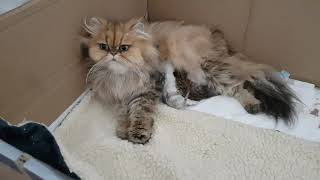 Persian Kittens  From birth to new homes VLOG #2