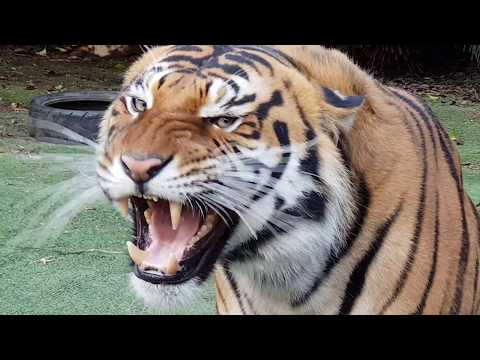 Tigers make their choice between chicken and fish !