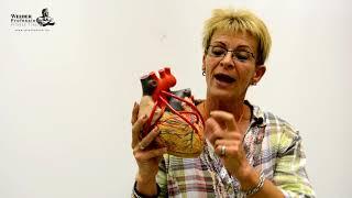 A szív anatómiája, működése.