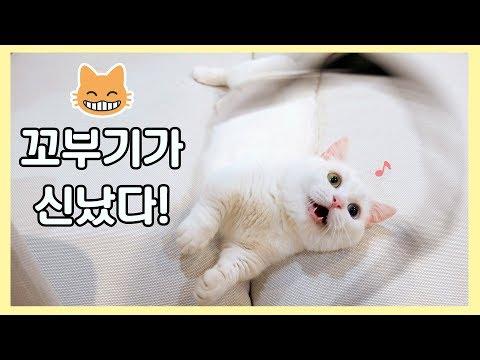 꼬부기가 신났다! 😁 클수록 애기같은 고양이